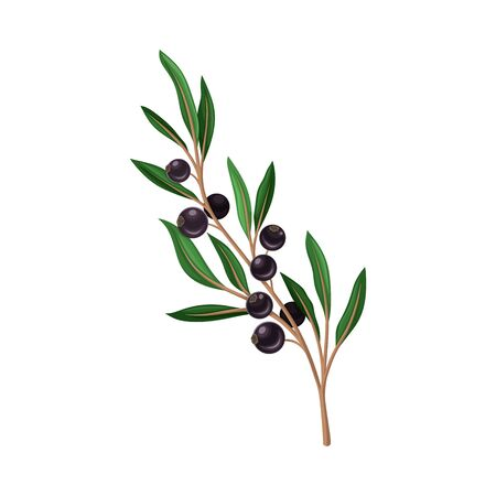 Blackcurrant Twig with Green Leaves Isolated on White Background Vector Illustration