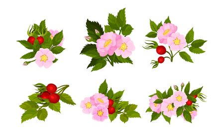 Briar Blossomed Flowers with Rosehips Isolated on White Background Vector Set