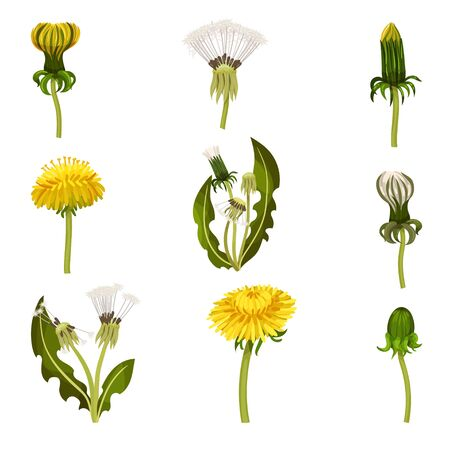 Different Dandelion Plants with Stem and Leaves Vector Set