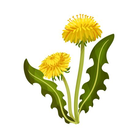Dandelion Yellow Flower on Stem with Green Leaves Isolated on White Background Vector Illustration