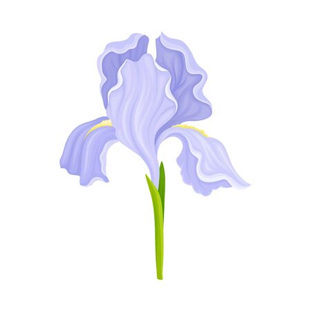Iris Flower Blossom with Falling Down Sepals Isolated on White Background Vector Illustration. Perennial Plant with Showy Petals Ilustração