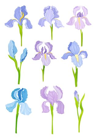 Purple Showy Iris Flowers on Green Erect Stem Vector Set. Perennial Plant with Falling Down Sepals and Upright Petals
