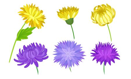 Yellow and Purple Aster Flowers on Stems Vector Set. Seasonal Floral Plants Concept