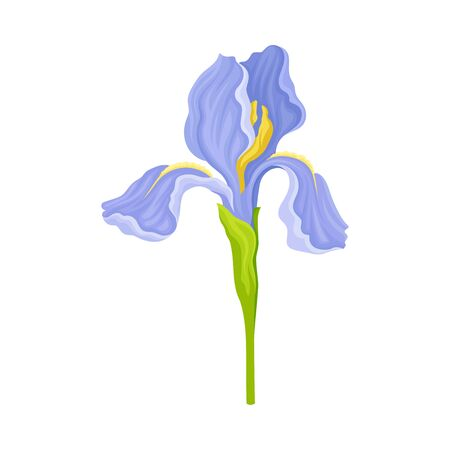 Blue Iris Flower on Green Stem Isolated on White Background Vector Illustration. Perennial Plant with Falling Down Sepals and Upright Standing Petals