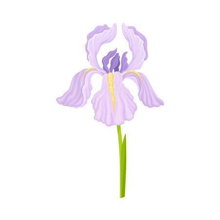 Violet Iris Flower on Green Stem Isolated on White Background Vector Illustration. Perennial Plant with Falling Down Sepals and Upright Standing Petals 矢量图像