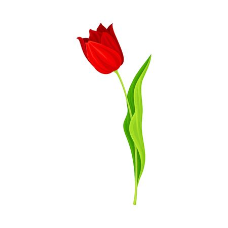 Opened Red Tulip Flower Bud on Green Erect Stem with Blade Vector Illustration. Spring-blooming Perennial Herbaceous Bulbous Flora