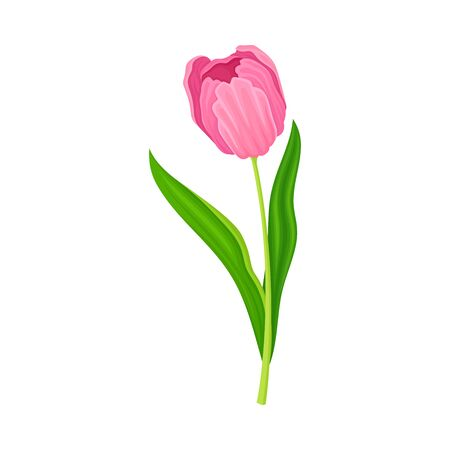 Semi-closed Purple Tulip Flower Bud on Green Erect Stem with Blade Vector Illustration. Spring-blooming Perennial Herbaceous Bulbous Flora