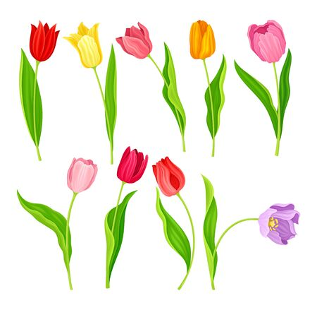 Bright Tulip Flowers with Large Buds and Green Pointed Leaves or Blades Vector Set. Spring-blooming Perennial Herbaceous Bulbous Flora