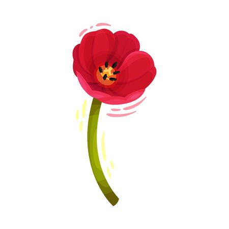 Open Tulip Flower Bud on Bended Stem Isolated on White Background Vector Illustration