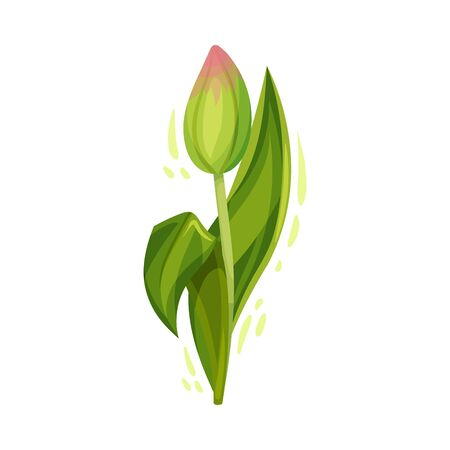 Closed Bud of Tulip Flower on Green Stem with Green Blade Isolated on White Background Vector Illustration