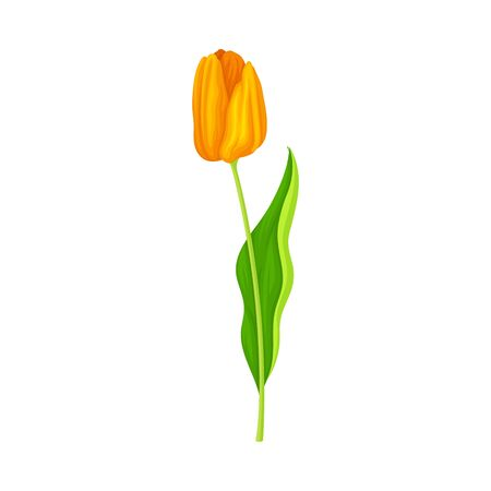 Tulip Flower Bud on Green Erect Stem Isolated on White Background Vector Illustration