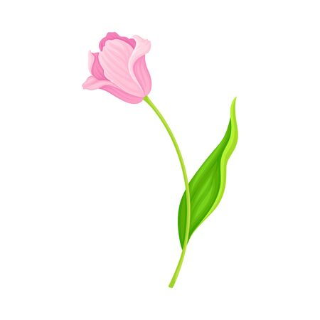 Opened Pink Tulip Flower Bud on Green Erect Stem with Blade Vector Illustration