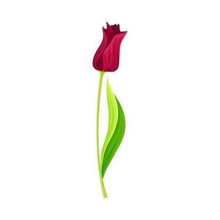 Semi-closed Red Tulip Flower Bud on Green Erect Stem with Blade Vector Illustration