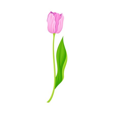 Semi-closed Purple Tulip Flower Bud on Green Erect Stem with Blade Vector Illustration Ilustração