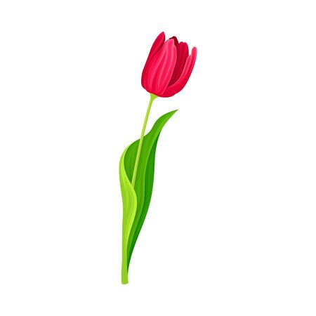 Tender Tulip Flower with Green Pointed Leaf Isolated on White Background Vector Illustration