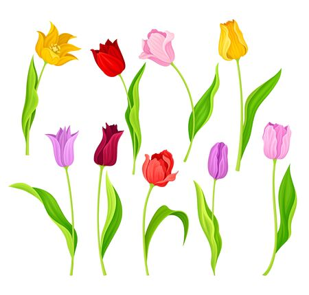 Bright Tulip Flowers with Large Buds and Green Pointed Leaves or Blades Vector Illustration 矢量图像