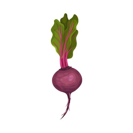 Whole Beet Root With Green Leaves Vector Illustration. Raw Purple Organic Vegetable and Agricultural Crop for Healthy Eating