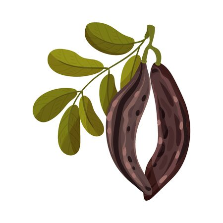 Carob Pods Hanging on Tree Branch Inside Isolated on White Background Vector Illustration