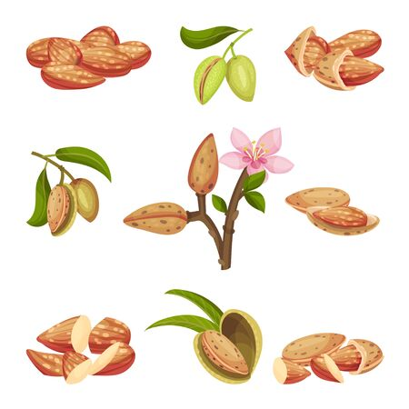 Almond Kernel with Nutshell and Without Vector Set. Organic Food Ingredient Vektorgrafik