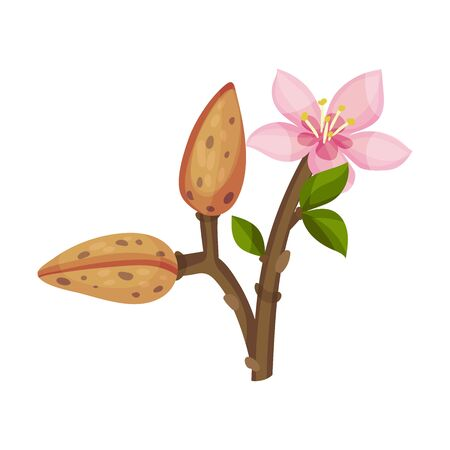 Almond Plant Blossoming with Flower and Nut Vector Illustration. Organic Food Ingredient. Green Vegetarian Snack Concept Vettoriali