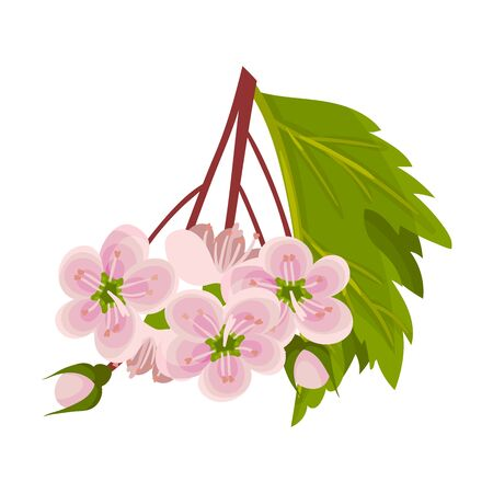 Hawthorn Blossoming Floral Branch with Pink Flowers Vector Illustration. Garden Fragrant Botany Concept