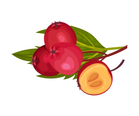Quickthorn or Hawthorn Berries Rested on Leafy Branch Vector Illustration