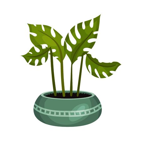 House Monstera Plant with Wide Leaves Growing in Pot Vector Illustration. Home Interior Decor and Botanical Decoration Concept