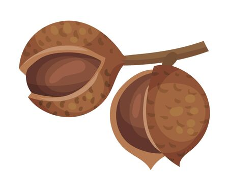 Whole Macadamia Nut Hanging on Tree Branch Vector Illustration. Raw Exotic Nutrition and Snack Concept