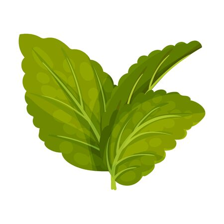Aromatic Oblong Mint Leaves with Veins Isolated on White Background Vector Illustration. Perennial Kitchen Herb or Flavoring Condiment Concept