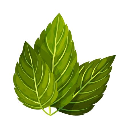 Aromatic Oblong Mint Leaves with Veins Isolated on White Background Vector Illustration Ilustrace