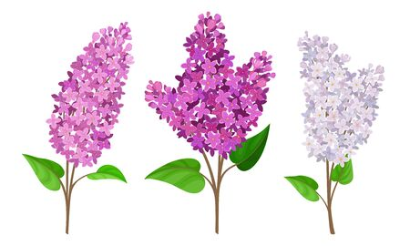 Lilac or Syringa Flowers with Showy Blossom Isolated on White Background Vector Set 向量圖像