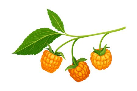 Orange Cloudberry Branch Isolated on White Background Vector Illustration. Proper and Healthy Nutrition for Well Balanced Diet Concept Illustration