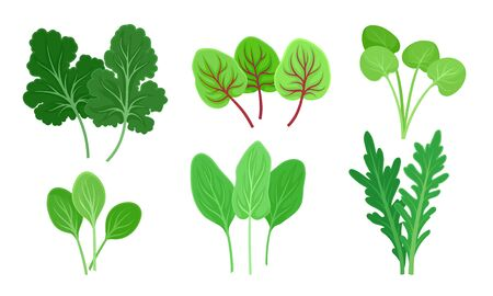 Green Leafy Vegetables with Sorrel and Arugula Leaves Vector Set