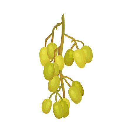 Cluster of Neem Fruits or Berries Hanging on Tree Branch Vector Illustration. Organic Ayurvedic Plant Widely Used in Medical Industry and Cosmetology