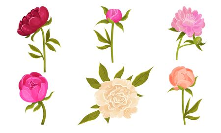 Colorful Peony Flower Buds on Green Stems with Showy Petals Vector Set. Botanical Decorative Elements Concept