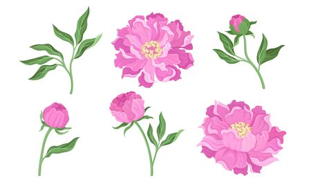Peony Flowering Plant with Leaves and Showy Petals Vector Set. Detailed Blooming Tender Blossoms on Stems Vector Illustration