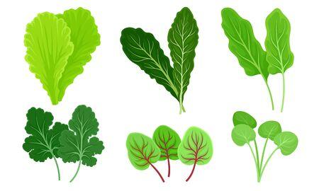 Green Leafy Vegetables with Lettuce and Sorrel Leaves Vector Set