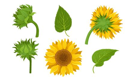 Sunflower Agricultural Plant with Yellow Petals and Seeds Vector Set 일러스트