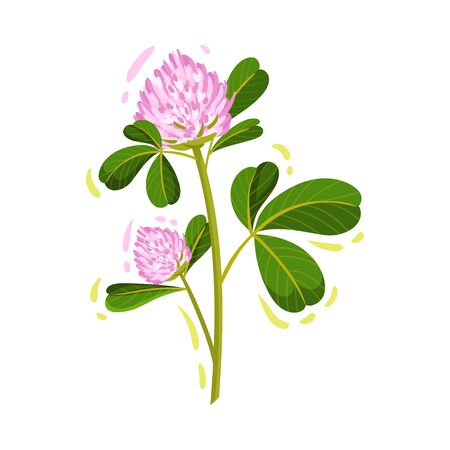 Purple Trifolium or Clover Flower Head on Green Stem with Trifoliate Leaves Vector Illustration. Perennial Herbaceous Plant Growing Freely Ilustrace