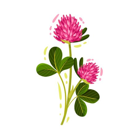 Clover Flower Head on Green Stem with Trifoliate Leaf Vector Illustration. Perennial Herbaceous Plant Trifolium as Seasonal Wild Flora