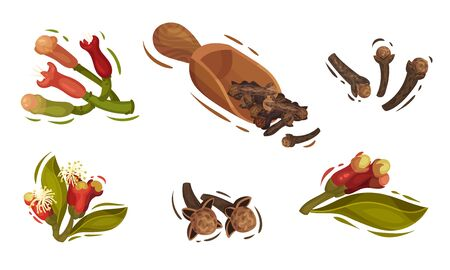 Dried Clove and Blossomed Flower Buds Vector Set Illustration