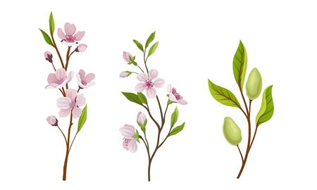 Almond Plant Branches with Blossoming Flowers Vector Set. Ripening and Flowering of Healthy Organic Product