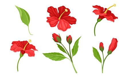 Hibiscus Red Tropical Flower with Large Petals and Green Fibrous Leaf Vector Set Ilustrace