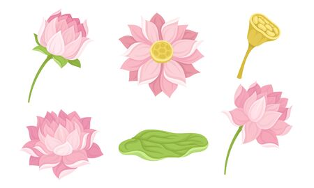 Waterlily Flower and Its Parts Isolated On White Background Vector Set