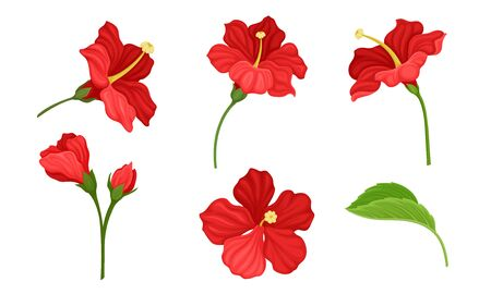 Hibiscus Red Tropical Flower with Large Petals and Green Fibrous Leaf Vector Set. Exotic Botany and Flora Blossoming Concept
