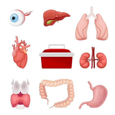 Donor Organs with Liver and Lungs for Transplantation Vector Set. Imported Human Organs for Medical Purpose Concept Vektoros illusztráció