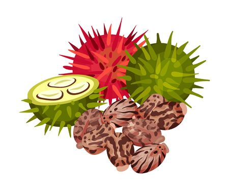 Ricinus or Castor Oil Plant with Green and Red Fruit Vector Illustration. Perennial Flowering Plant with Spiny Capsules as Medical Herb Vector Illustration