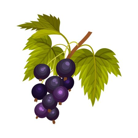 Grapes Branch with Mature Berries Hanging Vector Illustration