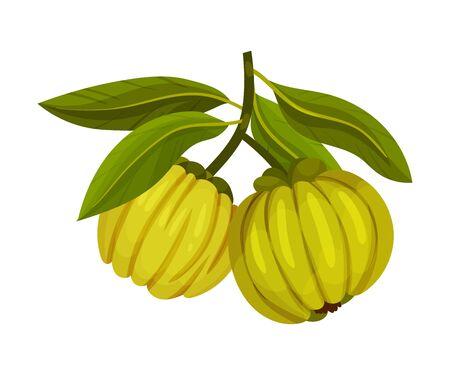 Garcinia Cambogia Fruit Looking Like Small Green Pumpkin Vector Illustration Illustration