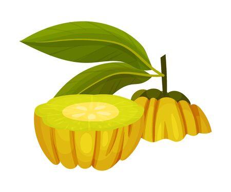 Halved Garcinia Cambogia Fruit Looking Like Small Green Pumpkin Vector Illustration